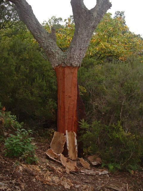 Arbre Chêne liège